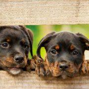Rottweiler: süße Hundewelpen